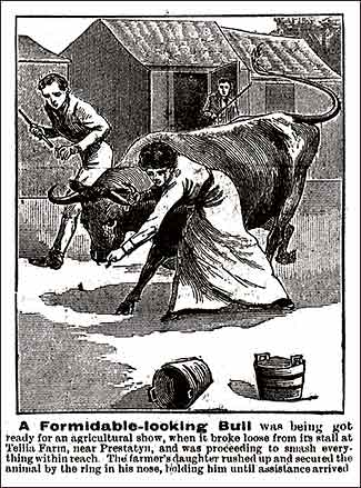 Bull at Teilia Farm